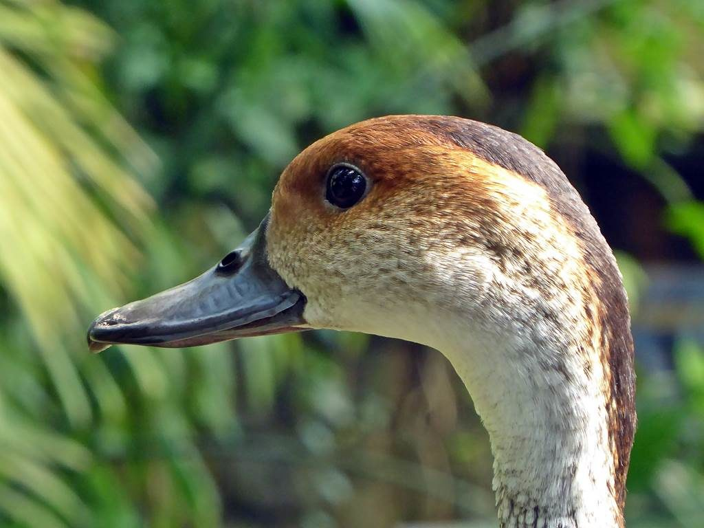 West Inadian whistling duck